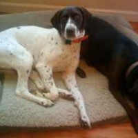 Lost Female GSP Pete in Sacramento, CA