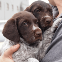 GWP/GSP Puppies Bonnie and June