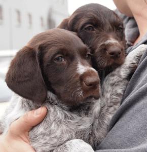 GWP-GSP-pups