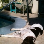 After a busy day at the beach, Rally soaks up some rays poolside.