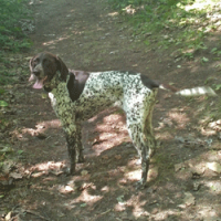 Lost female GSP near Akron, Michigan