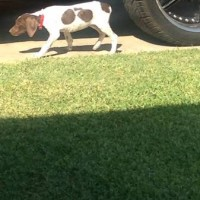 Lost female GSP outside Bakersfield, CA