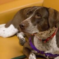 Vixen – Our Foster Dog