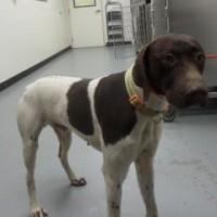 Sam – Male GSP – Shelter Dog in Sacramento, CA