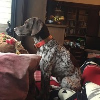 Lost female GSP mix in Sonoma County