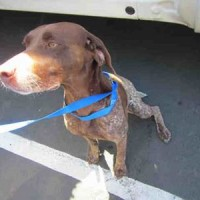 A322868- Female- Shelter Dog in Santa Rosa