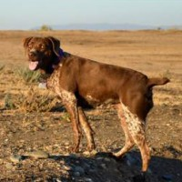 Lost female GSP in Merced