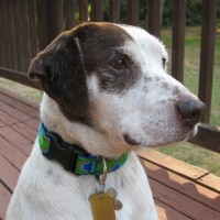 Chandler Bing – Our Foster Dog