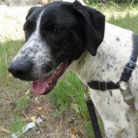 Larry – 22099230 – Male GSP – Shelter Dog in Mount Shasta, CA