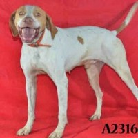 Champ – A231620-Male- Shelter Dog in Stockton