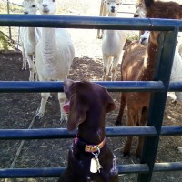 Daisy Mae goes to the farm