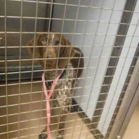 ID#A987778 – Male- Shelter Dog in San Jose