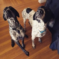 Holmes & Watson – Our Foster Dogs