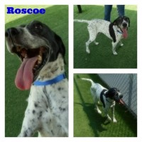 Roscoe – Male – Shelter Dog in Sacramento
