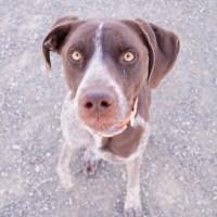 Sam – Male- Shelter Dog in Winnemucca, NV