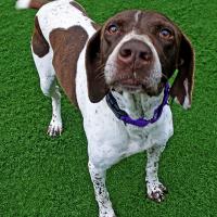 Pinta – Female – Shelter Dog in Milpitas