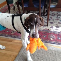Pinto – Our Foster Dog