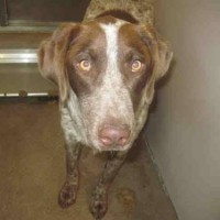 A173348 – Male GSP – Shelter Dog in Atwater