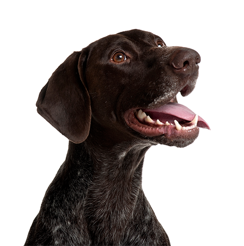 RESIZEDgerman-shorthaired-pointer-5-years-old-panting-in-PD8HL9Z