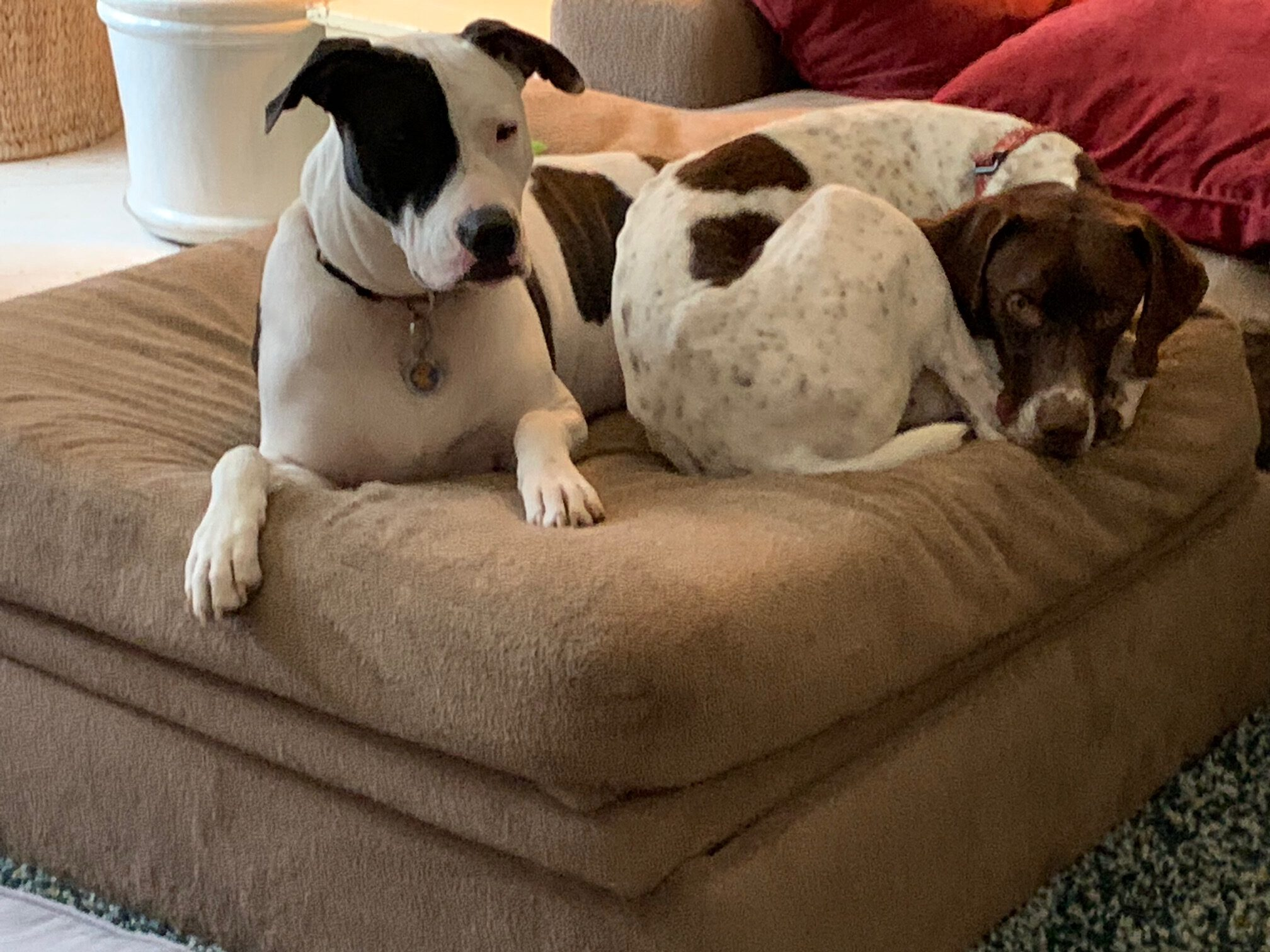 Two dogs snuggled on an ottoman, an example of fostering a dog