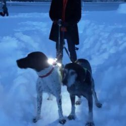 Image of Bobi in the snow with his new sibling, an older GSP