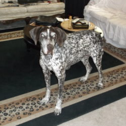Dean's in memoriam photo - a senior liver and white ticked male GSP, blind, not long before his death